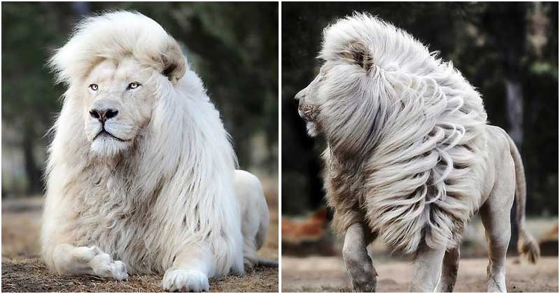 A Talented Photographer Managed To Immortalize A White Lion In All Its Glory